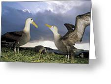 Waved Albatross Courtship Dance Greeting Card