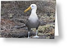 Waved Albatross Diomeda Irrorata Greeting Card