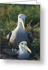 Waved Albatross Mate In Galapagos Greeting Card