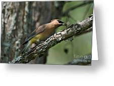 Waxwing Lunchtime Greeting Card