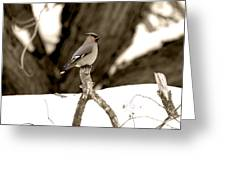 Waxwing Perched Greeting Card