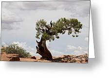 Weatherbeaten Juniper Greeting Card
