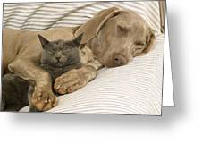 Weimaraner Asleep With Cat Greeting Card