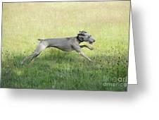 Weimaraner Dog Running Greeting Card