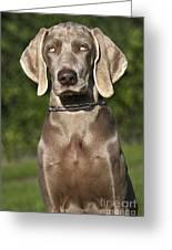 Weimaraner Hunting Dog Greeting Card