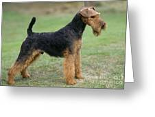 Welsh Terrier Dog Greeting Card