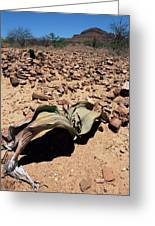 Welwitschia Mirabilis In Petrified Forest Greeting Card