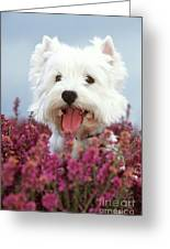 West Highland Terrier Dog In Heather Greeting Card