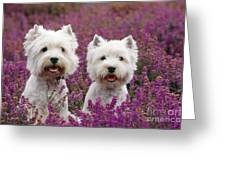 West Highland Terrier Dogs In Heather Greeting Card