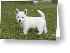 West Highland White Terrier Puppy Greeting Card