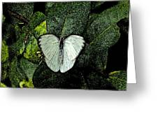 West Virginia White Ins 47 Greeting Card