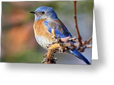 Western Bluebird Profile Greeting Card