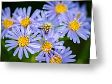 Western Daisies Asters Glacier National Park Greeting Card