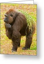 Western Lowland Gorilla Female Greeting Card