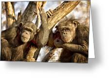 Western Lowland Gorillas Greeting Card