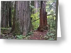 Western Red Cedar Grove Greeting Card