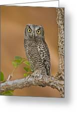 Western Screech Owl Juvenile Utah Greeting Card