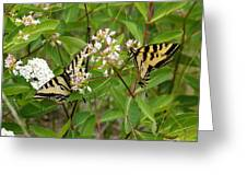 Western Tiger Swallowtail Butterflies Greeting Card