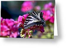 Western Tiger Swallowtail Butterfly On Geranium Greeting Card