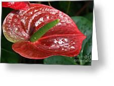 Wet Anthurium Greeting Card