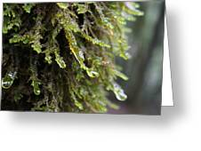Wet Redwood Branches Greeting Card