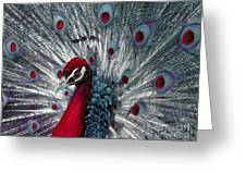 What If - A Fanciful Peacock Greeting Card