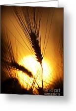 Wheat At Sunset Silhouette Greeting Card