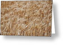 Wheat Harvest Greeting Card