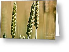 Wheat Stalks Greeting Card