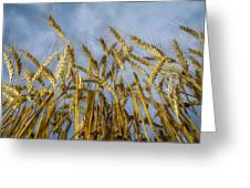 Wheat Standing Tall Greeting Card