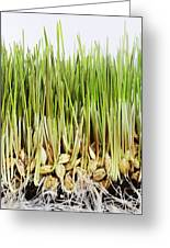 Wheatgrass Seedling Greeting Card