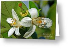 Where Oranges Come From Blossoms Greeting Card
