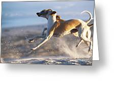 Whippet Dogs Fighting Greeting Card