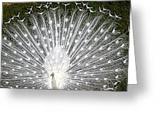 Whit Peacock Greeting Card