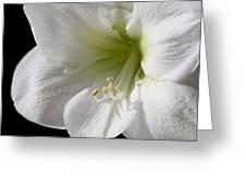 White Amaryllis Greeting Card