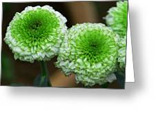 White And Green Mum Flowers Greeting Card