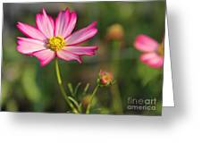 White And Magenta Cosmos Greeting Card