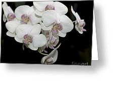 White And Pale Pink Phalaenopsis   9920 Greeting Card