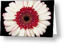 White And Red Gerbera Daisy Greeting Card