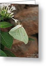 White Angled Sulphur #2 Greeting Card