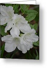 White Azalea 14-1 Greeting Card