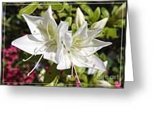 White Azaleas Greeting Card