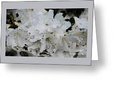 White Azaleas In Bermuda Greeting Card