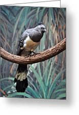 White-bellied Go-away-bird Greeting Card
