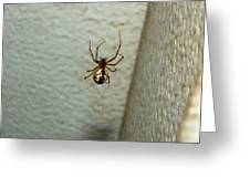 White Belly Spider Greeting Card