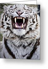 White Bengal Tiger At Forestry Farm Greeting Card