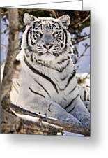White Bengal Tiger, Forestry Farm Greeting Card