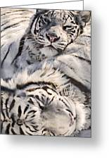 White Bengal Tigers, Forestry Farm Greeting Card
