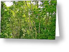 White Birch Along Rivier Du Nord Trail In The Laurentians-qc Greeting Card