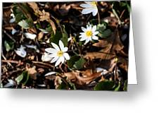 White Bloodroot Greeting Card